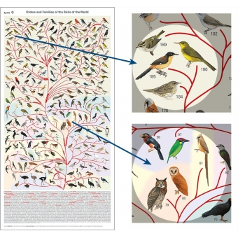 POST001 Bird Phylogeny Poster